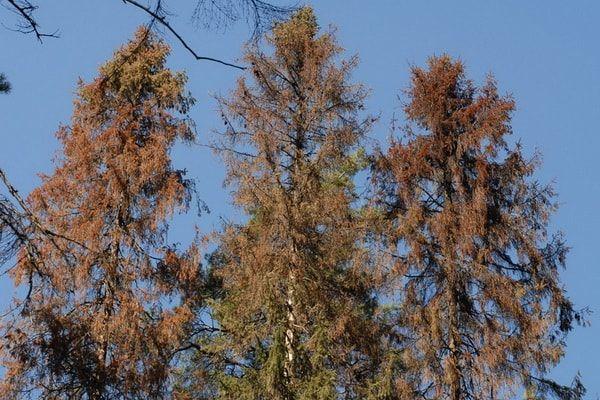 Обработка леса от короеда