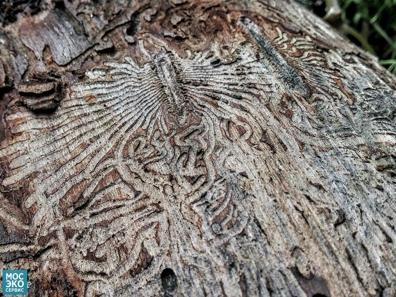 Дерево после жука короеда