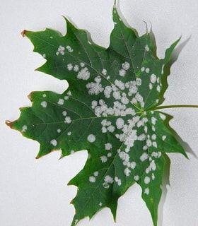Лечение болезней лиственных деревьев