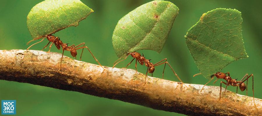 Вред, приносимый муравьями