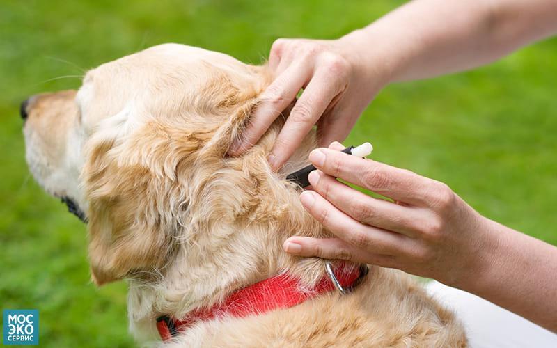 Снимают клеща с собаки