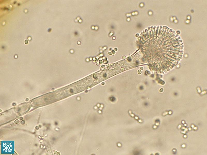 Вид гетероталличных грибов-аскомицетов