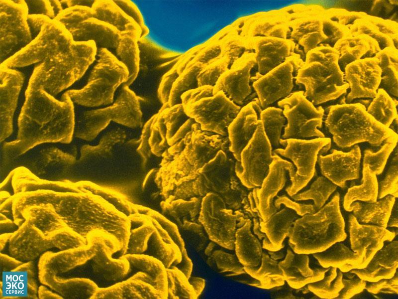 Вирус жёлтой лихорадки