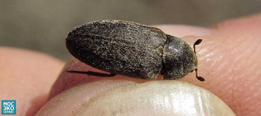 Как избавится от жука кожееда