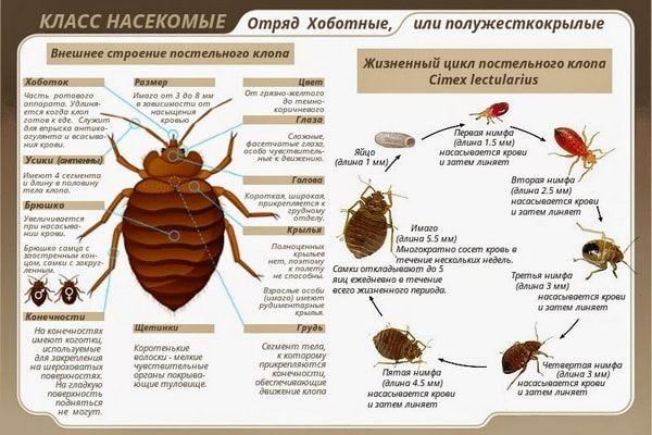Биологические и эпидемиологические особенности клопов