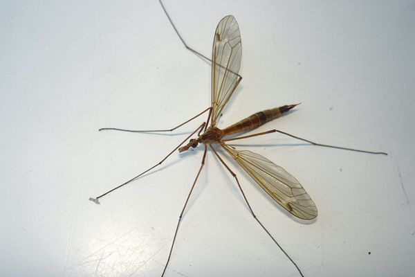 Комар-долгоножка