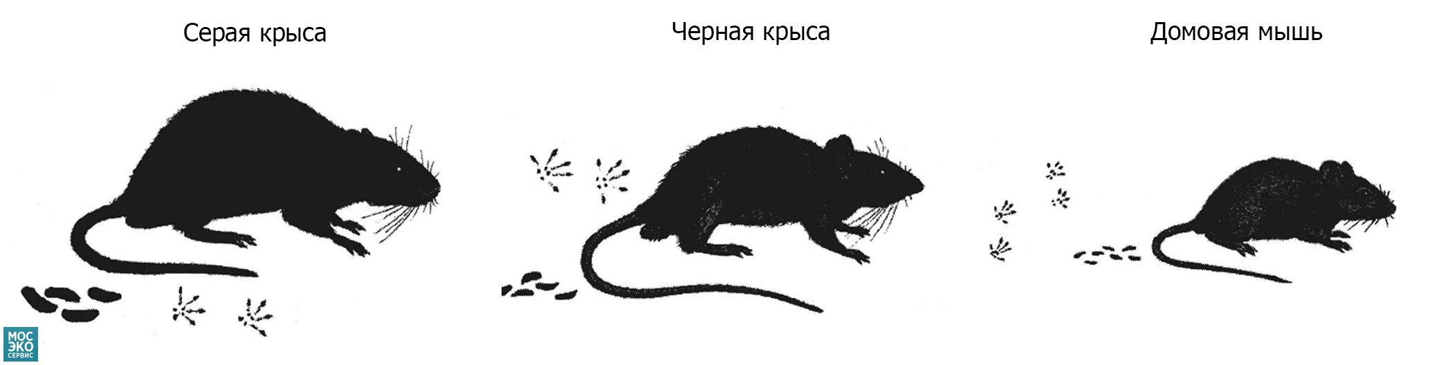 Как отличить мышь от крысы