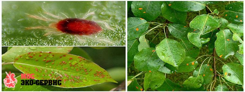 Галловый клещ на растениях