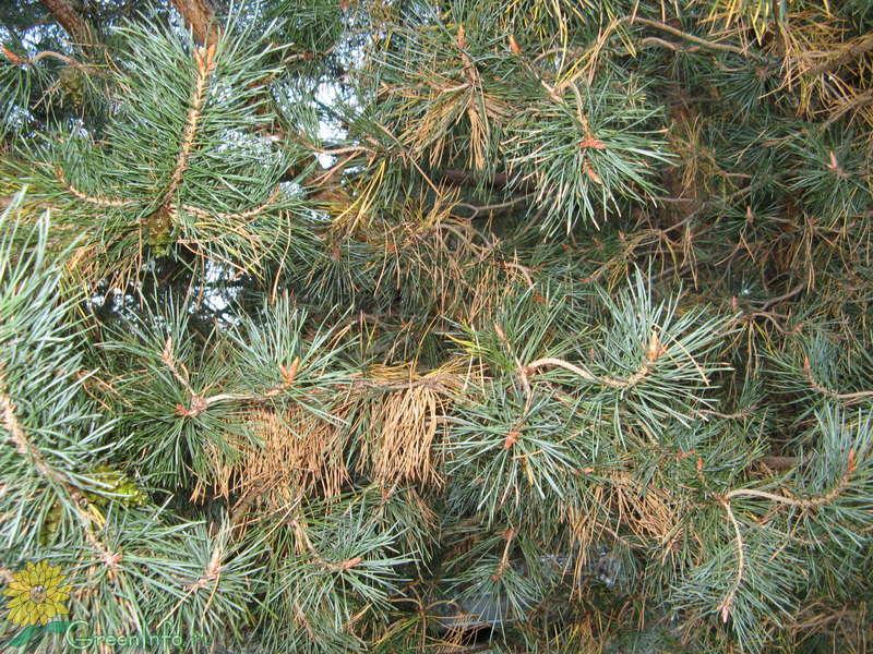 Лечение хвойных деревьев