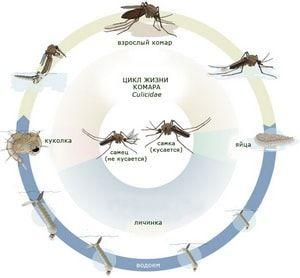 Стадии жизни комара