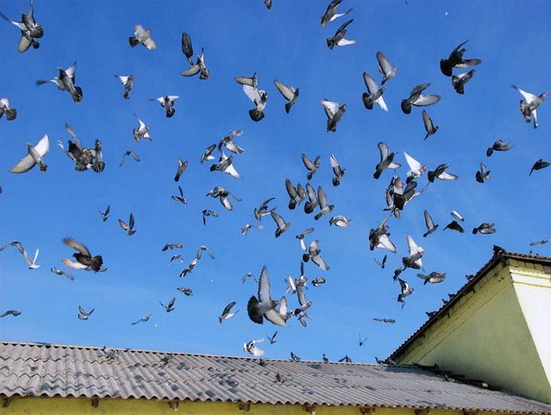Отпугивание голубей